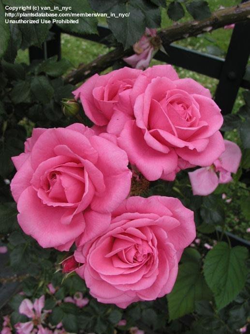 美國芳香歐月月季花苗 薔薇庭院盆栽綠植花卉 灌木月季擴張性植物四季開花2入/4吋盆