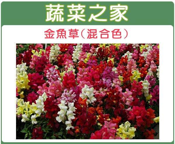 【蔬菜之家】H14.金魚草種子150顆(混合色,高15cm.花卉種子)