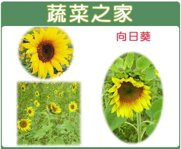 【蔬菜之家】H01.向日葵種子150顆(美化綠化環境作物.花卉種子)