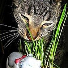 黑麥草 種子(貓草)--適合 貓,狗,兔,龍貓,倉鼠,金毛鼠,陸龜
