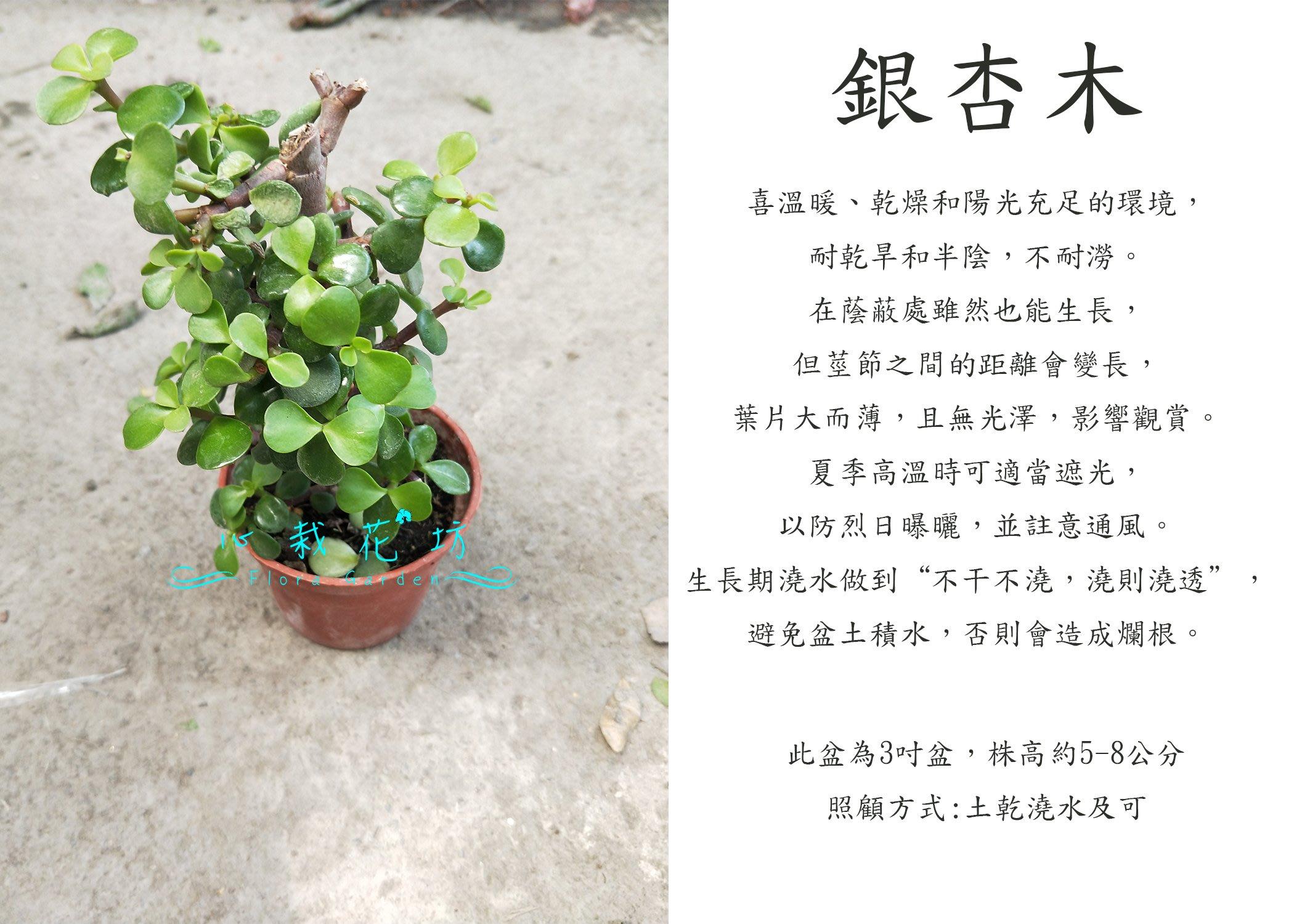 心栽花坊-銀杏木/樹馬齒莧/馬齒莧樹/3吋/綠化植物/綠籬植物/觀葉植物/售價40特價35
