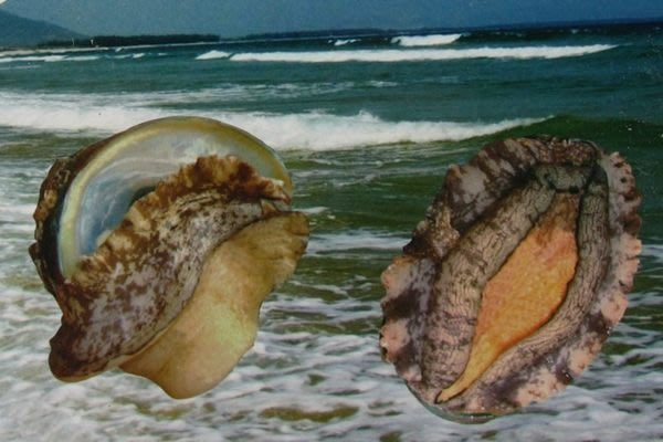 【萬象極品】帶殼鮑魚(又稱九孔鮑)(半熟凍)(24顆 / 1000g)1顆 ~ 教你作紅燒帶殼鮑魚 ~新鮮好滋味