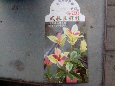 ╭*田尾玫瑰園*╯新品種桂花-(五彩桂.珍珠桂)武藤五彩桂