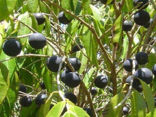 水果苗 ** 藍葡萄 ** 4.5吋盆/高25-30cm/大果品種樹葡萄/1入