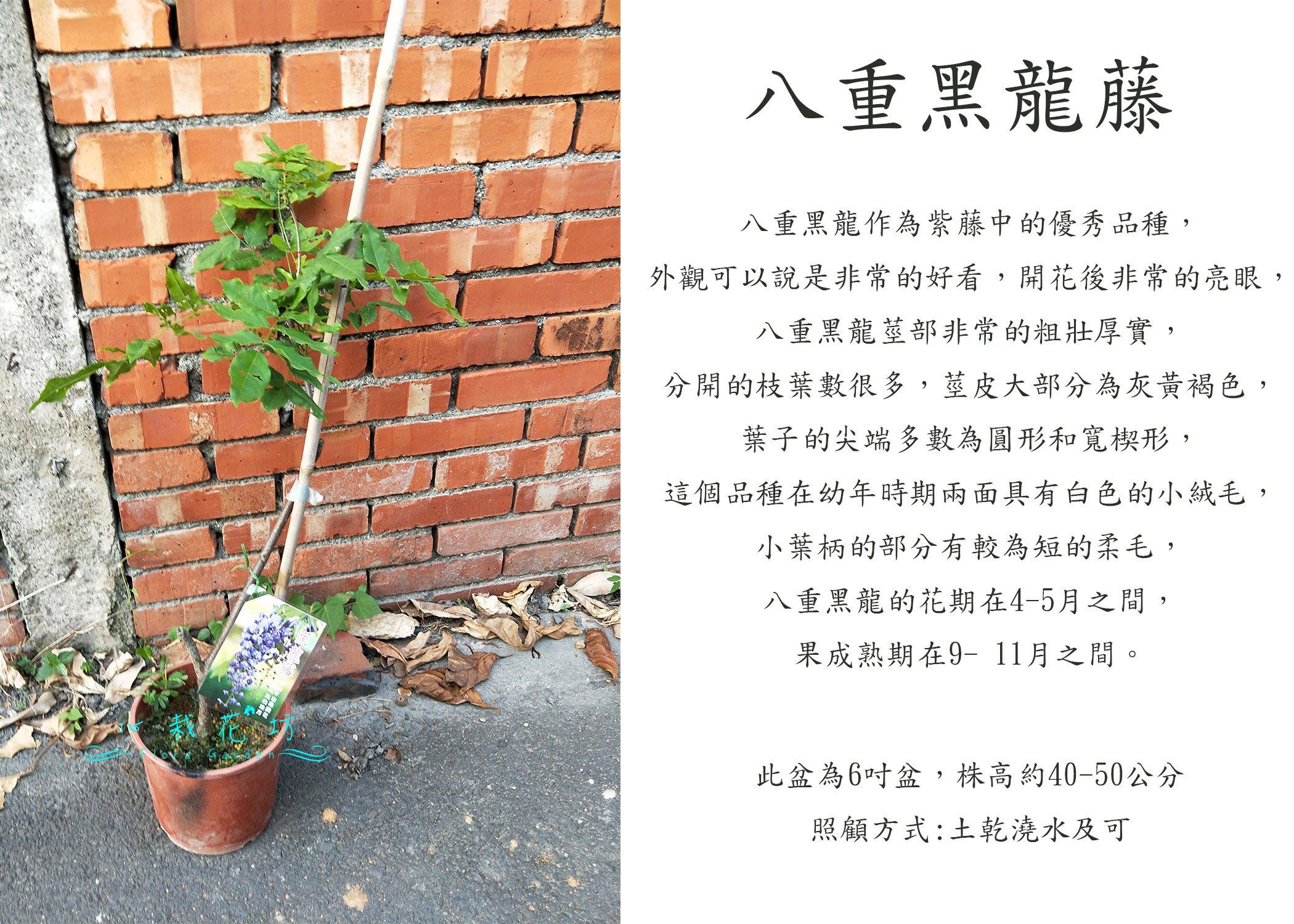 心栽花坊-八重黑龍藤/平地不易開花/6吋/觀花植物/蔓性/藤本/爬藤植物/售價600特價500