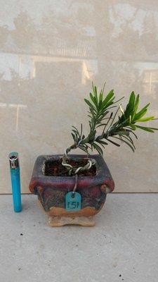**大自然盆栽園** 雀舌羅漢松--療癒系列小品盆景--151