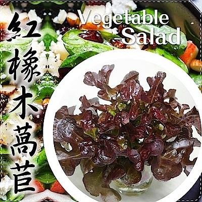 (任選12朵)【天天果園】台灣小農溫室萵苣-紅橡木萵苣(約80g)