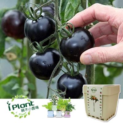 iPlant積木農場-黑色小番茄