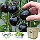 iPlant 積木農場-黑色小番茄 product thumbnail 2