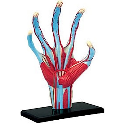 4D MASTER 立體拼組模型人體解剖教學系列-手掌(罐裝)