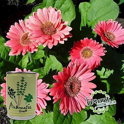 【 iPlant 】易開罐頭小農場-太陽菊