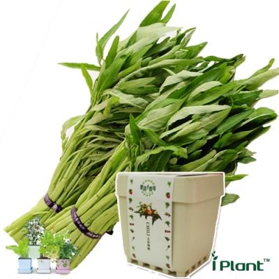 iPlant積木農場-空心菜