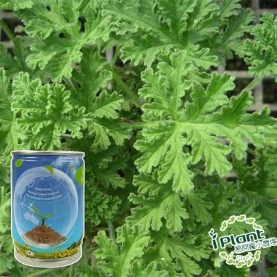 【 iPlant 】易開罐頭小農場-防蚊樹/香檸檬桉