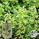 【 iPlant 】易開罐頭小農場-百里香