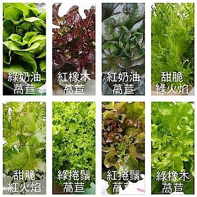 【天天果園】嚴選台灣小農溫室萵苣8朵組(每朵80-120g)