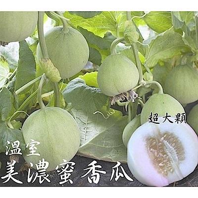 【天天果園】美濃特大顆香瓜10台斤(約13-15顆)