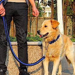 dyy》寵物升級版雙色項圈P鏈牽引繩-S號粗1.2cm