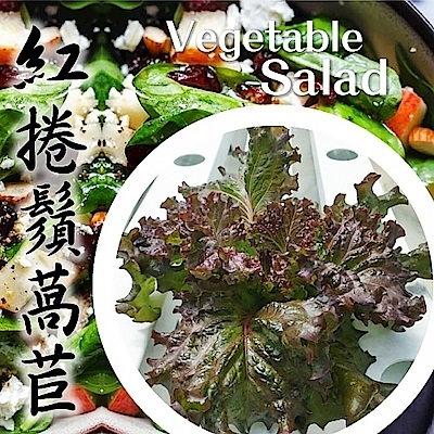 (任選12朵)【天天果園】台灣小農溫室萵苣-紅捲鬚萵苣(約110g)