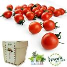 iPlant積木農場-小蕃茄