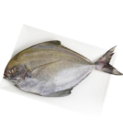 魚博士-魚霸 野生現撈黑鯧6尾(300g~350g/尾)