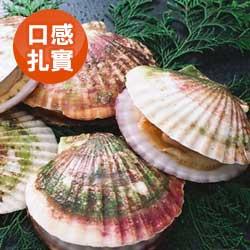 日本北海道活扇貝/1入