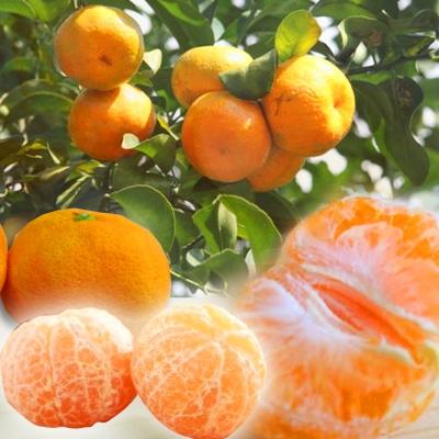 彩水果 南投迷你Juicy珍珠橘-S(5斤/箱)