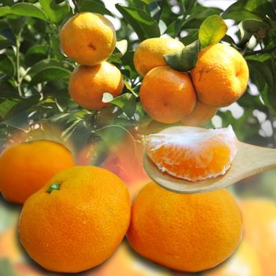 彩水果 南投迷你Juicy珍珠橘-L(5斤/箱)