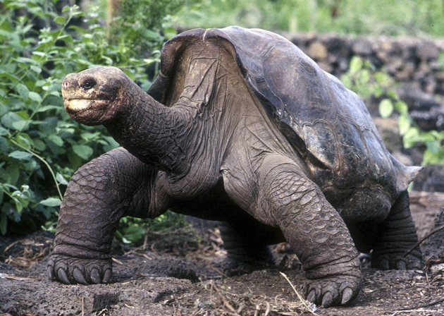 Click image to see more of Lonesome George